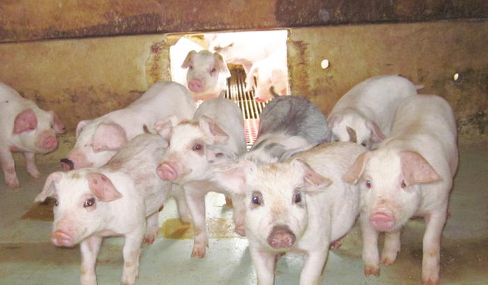 pigs 2.jpg
